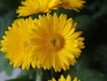 Λουλούδια, χρυσάνθεμο λουλουδιών, ταπετσαρία χρυσάνθεμων, Στοκ φωτογραφίες με δικαίωμα ελεύθερης χρήσης