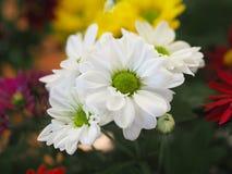 Λουλούδια, χρυσάνθεμο λουλουδιών, ταπετσαρία χρυσάνθεμων, Στοκ εικόνα με δικαίωμα ελεύθερης χρήσης