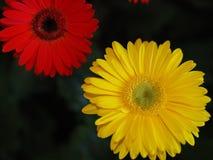 Λουλούδια, χρυσάνθεμο λουλουδιών, ταπετσαρία χρυσάνθεμων, Στοκ Φωτογραφίες