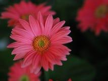 Λουλούδια, χρυσάνθεμο λουλουδιών, ταπετσαρία χρυσάνθεμων, Στοκ Φωτογραφία
