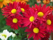 Λουλούδια, χρυσάνθεμο λουλουδιών, ταπετσαρία χρυσάνθεμων, Στοκ εικόνες με δικαίωμα ελεύθερης χρήσης