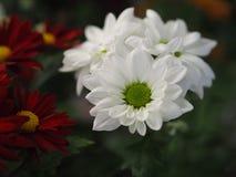 Λουλούδια, χρυσάνθεμο λουλουδιών, ταπετσαρία χρυσάνθεμων, Στοκ Εικόνες