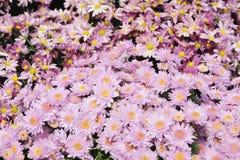 λουλούδια χρυσάνθεμων Στοκ φωτογραφία με δικαίωμα ελεύθερης χρήσης