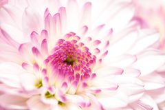 λουλούδια χρυσάνθεμων Στοκ Φωτογραφίες