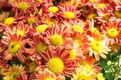 Λουλούδια χρυσάνθεμων στοκ φωτογραφίες με δικαίωμα ελεύθερης χρήσης