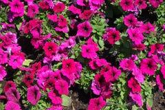 Λουλούδια χρωματισμένης της ροδανιλίνη πετούνιας τον Ιούνιο στοκ εικόνα