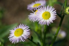Λουλούδια Όμορφη κινηματογράφηση σε πρώτο πλάνο λουλουδιών της Daisy στοκ εικόνες με δικαίωμα ελεύθερης χρήσης