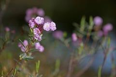 Λουλούδια amercian-δαφνών ελών Στοκ Εικόνα
