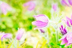 Λουλούδια Anemone άνοιξη Στοκ Εικόνες