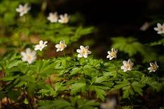 Λουλούδια Anemone με τα φύλλα που αυξάνονται στο δάσος Στοκ φωτογραφία με δικαίωμα ελεύθερης χρήσης