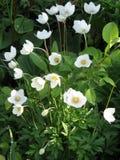 λουλούδια anemone στον κήπο Στοκ εικόνα με δικαίωμα ελεύθερης χρήσης