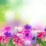 Λουλούδια Anemone στον κήπο Στοκ Εικόνα