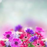 Λουλούδια Anemone στον κήπο Στοκ Φωτογραφία