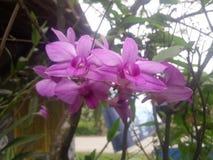 Λουλούδια Anggrek Στοκ Εικόνες