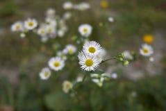 Λουλούδια Annuus Erigeron Στοκ Φωτογραφίες