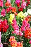 Λουλούδια Antirrhinum Στοκ εικόνα με δικαίωμα ελεύθερης χρήσης