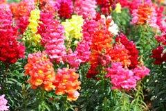 Λουλούδια Antirrhinum Στοκ φωτογραφία με δικαίωμα ελεύθερης χρήσης