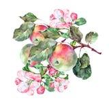 Λουλούδια Apple Watercolor με τα φρούτα Απεικόνιση χειροτεχνίας Στοκ Εικόνες