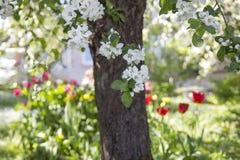 Λουλούδια Appletree και δέντρων μηλιάς την άνοιξη, τουλίπες στον κήπο μέσα Στοκ Εικόνα