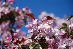 λουλούδια appletree στοκ εικόνες
