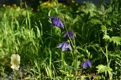Λουλούδια Aquilegia και πετουνιών στο ναυπηγείο πόλεων Κηπουρική ανταρτών Στοκ εικόνες με δικαίωμα ελεύθερης χρήσης