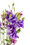 Λουλούδια Aquilegia που απομονώνεται σε ένα άσπρο υπόβαθρο Στοκ φωτογραφία με δικαίωμα ελεύθερης χρήσης