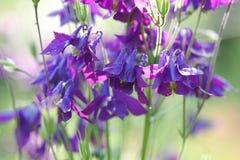 Λουλούδια Aquilegia Στοκ φωτογραφία με δικαίωμα ελεύθερης χρήσης