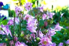 Λουλούδια Aquilegia Aquilegia vulgaris - το κοινό columbine απομονώνει Στοκ φωτογραφία με δικαίωμα ελεύθερης χρήσης