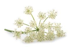 Λουλούδια archangelica της Angelica Στοκ φωτογραφία με δικαίωμα ελεύθερης χρήσης