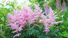 Λουλούδια Astilbe φιλμ μικρού μήκους