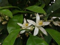 Λουλούδια Azahar στοκ εικόνα