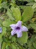 Λουλούδια Bakung στοκ εικόνα