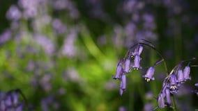 Λουλούδια Bluebell άνοιξη στη δροσιά πρωινού απόθεμα βίντεο