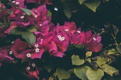 Λουλούδια Bougainvillea Ζωηρόχρωμα πορφυρά σύσταση και υπόβαθρο λουλουδιών _ Στοκ εικόνα με δικαίωμα ελεύθερης χρήσης