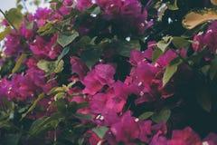 Λουλούδια Bougainvillea Ζωηρόχρωμα πορφυρά σύσταση και υπόβαθρο λουλουδιών _ Στοκ φωτογραφίες με δικαίωμα ελεύθερης χρήσης