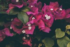 Λουλούδια Bougainvillea Ζωηρόχρωμα πορφυρά σύσταση και υπόβαθρο λουλουδιών _ Στοκ Εικόνα