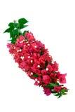 λουλούδια bougainvillea Στοκ Εικόνες