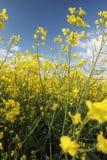 λουλούδια canola Στοκ Φωτογραφία