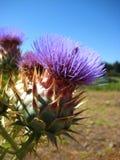 Λουλούδια Cardo στην κοιλάδα limari Στοκ εικόνες με δικαίωμα ελεύθερης χρήσης