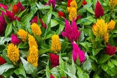 Λουλούδια Celosia Στοκ εικόνα με δικαίωμα ελεύθερης χρήσης