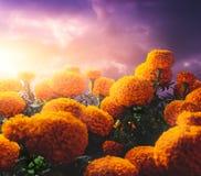 Λουλούδια Cempasuchil που χρησιμοποιούνται για την ημέρα των νεκρών βωμών στοκ εικόνα