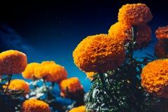 Λουλούδια Cempasuchil που χρησιμοποιούνται για την ημέρα των νεκρών βωμών στοκ φωτογραφίες