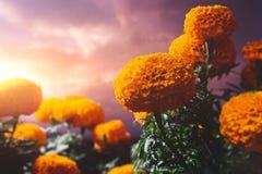 Λουλούδια Cempasuchil που χρησιμοποιούνται για την ημέρα των νεκρών βωμών στοκ εικόνες
