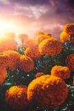 Λουλούδια Cempasuchil που χρησιμοποιούνται για την ημέρα των νεκρών βωμών στοκ φωτογραφία με δικαίωμα ελεύθερης χρήσης