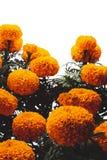 Λουλούδια Cempasuchil που χρησιμοποιούνται για την ημέρα των νεκρών βωμών στοκ φωτογραφίες με δικαίωμα ελεύθερης χρήσης