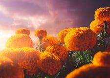 Λουλούδια Cempasuchil που χρησιμοποιούνται για την ημέρα των νεκρών βωμών στοκ εικόνες με δικαίωμα ελεύθερης χρήσης