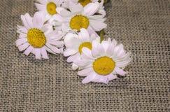 Λουλούδια Chamomile στο χονδροειδές ύφασμα, burlap Ανασκόπηση για τη ευχετήρια κάρτα στοκ φωτογραφία με δικαίωμα ελεύθερης χρήσης