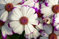 Λουλούδια Cineraria Στοκ Φωτογραφίες