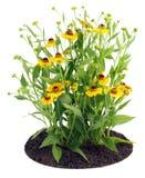λουλούδια coreopsis θάμνων σπορ&e Στοκ Εικόνες