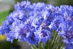 Λουλούδια Cornflower με το πράσινο θολωμένο υπόβαθρο στοκ φωτογραφίες